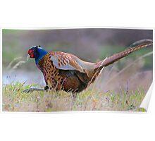 EUROPEAN ~ Common Pheasant Poster