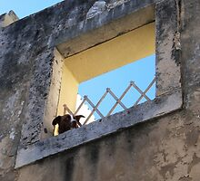Alfama Dog Looking Out Of A Hole In The Wall by Menega  Sabidussi