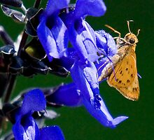 Skipper on a Flower by TJ Baccari Photography