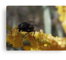 fly on wattle flower Canvas Print