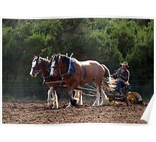 Two Clydesdales working in Sunshine Poster