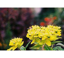Bee Pollinating Yellow Flower Photographic Print