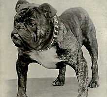 Vintage English Bulldog Photograph by BravuraMedia