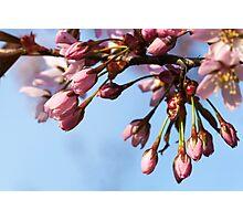 Cherry Tree Buds Photographic Print