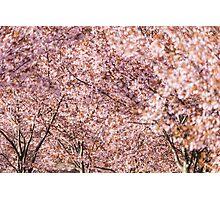 Cherry Trees Photographic Print