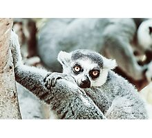 Lemur Portrait On Madagascar Island Photographic Print