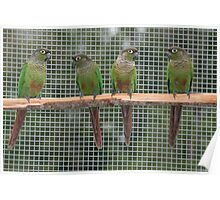 Family of Green-cheeked Conures Poster
