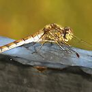Resting Dragonfly  by taiche