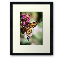 Monarch Danaus Plexippus Framed Print