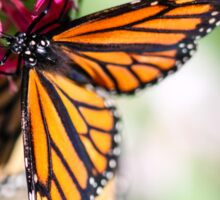 Monarch Danaus Plexippus Sticker