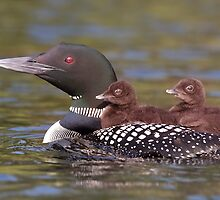 Common loon swimming with two chicks on her back by Jim Cumming