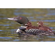 Common loon swimming with two chicks on her back Photographic Print