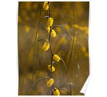 Graceful wattle (acacia) Poster