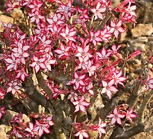 Impala Lily by Antionette
