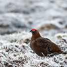 Red Grouse by Sue Robinson