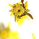 Mellow yellow. by Paul Pasco