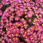 Pink chrysantemumms by Ana Belaj