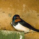 Barn Swallow Migratory Bird by Sue Robinson