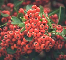 Berries II by CarlaSophia