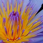 THE BLUE WATERLILY - Nymphaea nouchall. by Magaret Meintjes