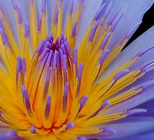 THE BLUE WATERLILY - Nymphaea nouchall. by Magriet Meintjes
