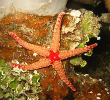 Orange Starfish by BravuraMedia