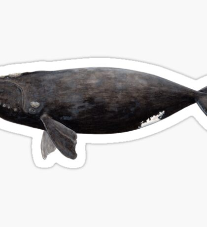 Northern right whale (Eubalaena glacialis) Sticker