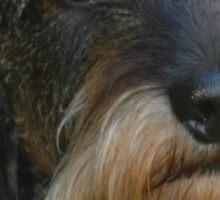 dachshund wirehaired Sticker