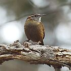 Wren by William Brennan