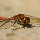 Common Darter dragonfly by Jon Lees