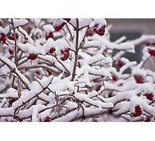 Snow On The Elderberries  Photographic Print