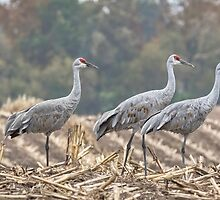 Fall Cranes 2016 by Thomas Young