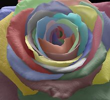 Painted Rose by Timothy  Ruf