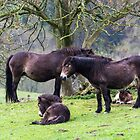 Exmoor Ponies. by Dave Staton