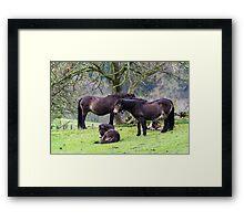 Exmoor Ponies. Framed Print