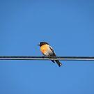 Robin on a Power Line by Derwent-01