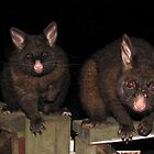 Two Possums, Mother and Baby by Derwent-01