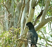 Red tailed Black Cockatoo - male  by Margaret Stanton