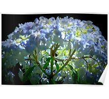 Backlit hydrangea. Poster