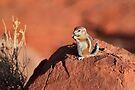 Antelope  Squirrel by Ann  Van Breemen