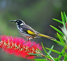 New Holland Honeyeater by Ian Berry