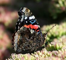 A Red Admiral Butterfly by jozi1