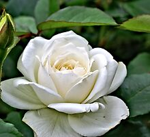 A Very White Rose by JohnDSmith