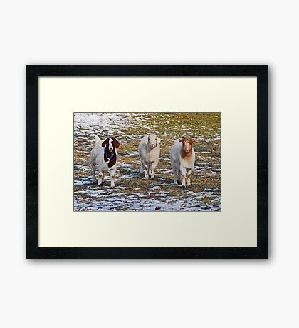 The Three Goats Framed Print