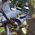Kookaburra Love by byronbackyard