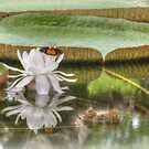 The largest waterlily by Thea 65