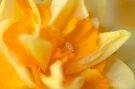 Double Daffodil by Tiffany Dryburgh