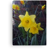 Golden Narcissus Daffodils Of Wales Canvas Print