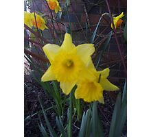 Golden Narcissus Daffodils Of Wales Photographic Print