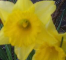 Golden Narcissus Daffodils Of Wales Sticker